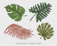 Engraved, hand drawn tropical or exotic leaves isolated, leaf of different vintage looking plants. monstera and fern. Palm with banana botany set Stock Image
