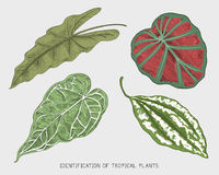 Engraved, hand drawn tropical or exotic leaves isolated, leaf of different vintage looking plants. monstera and fern. Palm with banana botany set Royalty Free Stock Photography