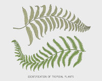 Engraved, hand drawn tropical or exotic leaves isolated, leaf of different vintage looking plants. monstera and fern. Palm with banana botany set Stock Photography