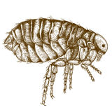 Engraving  antique illustration of flea Royalty Free Stock Photos