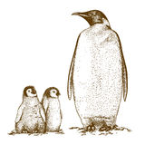 Engraving antique illustration of three king penguins. Engraving antique illustration of king penguin and two penguin nestling  on white background Royalty Free Stock Photography