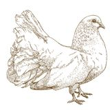 Engraving  antique illustration of white dove Stock Images