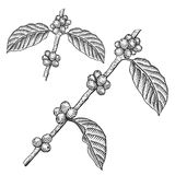 Engraving coffee branch. Coffee tree vector illustration Stock Photos