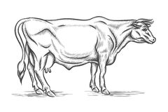 Engraving cow. Vector hand drawn illustration Royalty Free Stock Images