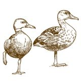 Engraving drawing illustration of two ducks Stock Image
