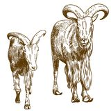 Engraving drawing illustration of two mountain goats stock illustration