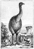Engraving of an extinct New Zealand moa. And a kiwi. From Outlines of Zoology by Thomson, 1906 royalty free illustration