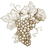 Engraving grapes on the branch on white background Stock Photo