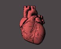 Engraving human heart illustration Royalty Free Stock Image