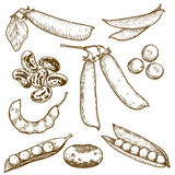 Engraving illustration of beans and peas Stock Images