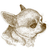 Engraving illustration of chihuahua head. Vector antique engraving illustration of chihuahua head isolated on white background Stock Photos