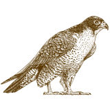 Engraving illustration of falcon Royalty Free Stock Photography