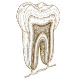 Engraving  illustration of human tooth structure Royalty Free Stock Image