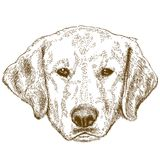 Engraving illustration of labrador head. Vector antique engraving illustration of labrador head isolated on white background Royalty Free Stock Image