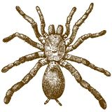 Engraving Illustration Of King Baboon Spider Stock Photo