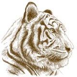 Engraving illustration of tiger head. Vector antique engraving illustration of tiger head isolated on white background stock illustration