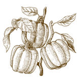 Engraving illustration of tree bell peppers Stock Images