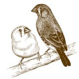 Engraving  illustration of two japanese finches. Vector antique engraving illustration of two japanese finches isolated on white background Stock Photography