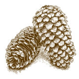 Engraving illustration of  two pine cones Royalty Free Stock Photos