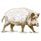 Engraving illustration of wild boar Royalty Free Stock Images