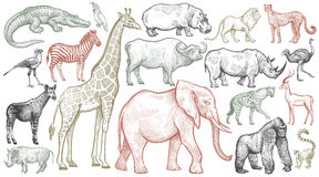 Free Engraving Of African Animals. Stock Photography - 87383132