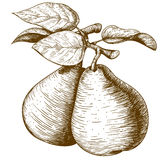 Engraving pear and leaf on the branch Royalty Free Stock Photography