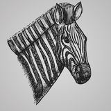 Engraving style zebra head. African horse in sketch style. Vector illustration. EPS 10 Stock Photos