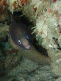 A enguia de Moray Branco-Eyed na ilha de Mabul, Semporna, Tawau Sabah, Mal?sia born?u fotografia de stock