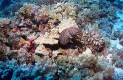 Enguia de Moray em Maui Fotos de Stock