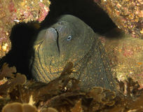 Enguia de Moray gigante, console de Catalina, Califórnia foto de stock