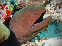 Enguia de moray gigante em Maldives Foto de Stock Royalty Free