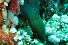 Enguia de Moray gigante pronta para livrar a nadada Imagens subaquáticas dos recifes coloridos super bonitos do Mar Vermelho fotografia de stock royalty free
