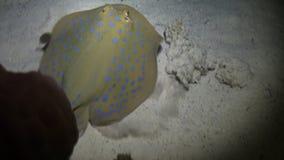 Enguia de Moray nos corais no fundo azul da parte inferior arenosa da paisagem no Mar Vermelho video estoque