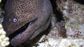 Enguia de Moray nos corais no fundo azul da parte inferior arenosa da paisagem no Mar Vermelho vídeos de arquivo