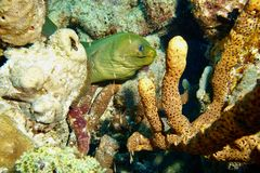Enguia de Moray verde Foto de Stock Royalty Free