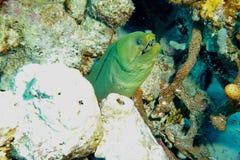 Enguia de Moray verde fotografia de stock royalty free