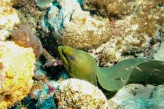 Enguia de Moray verde fotografia de stock