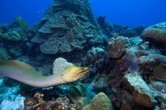 Enguia de Moray verde, Bonaire Imagem de Stock Royalty Free
