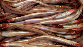 Enguia do mar (congro) foto de stock