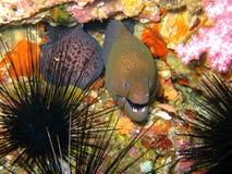 Enguia e Anemone do mar Foto de Stock