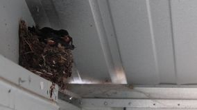 Engula os pintainhos, Hirundinidae, no ninho na vertente que espera para ser alimentado por adultos em julho, scotland filme