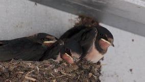 Engula os pintainhos, Hirundinidae, no ninho na vertente que espera para ser alimentado por adultos em julho, scotland video estoque