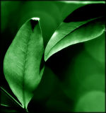 Enhanced Leaves Close-up. Macro image of leaves.  Structure is detailed and green color enhanced Stock Photography