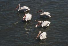 Enhet för vita pelikan Arkivfoto