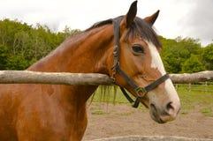 Enig bruin paard Royalty-vrije Stock Fotografie