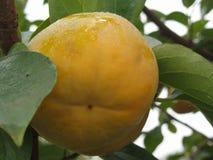 Enig dadelpruimfruit op de boom in bladeren Stock Foto