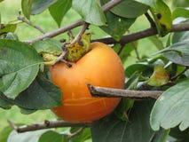 Enig dadelpruimfruit op de boom in bladeren Royalty-vrije Stock Foto's