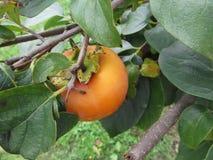 Enig dadelpruimfruit op de boom in bladeren Stock Fotografie