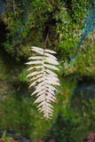 Enig Fern Stem Stock Foto