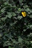 Enig geel verlof op de groene boom Stock Afbeeldingen